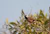 blackthroatedfinch-2115