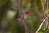 Crimson Finch- Neochmia phaeton evangelinae, Lakefield, Cape York Peninsula, QLD. Female.