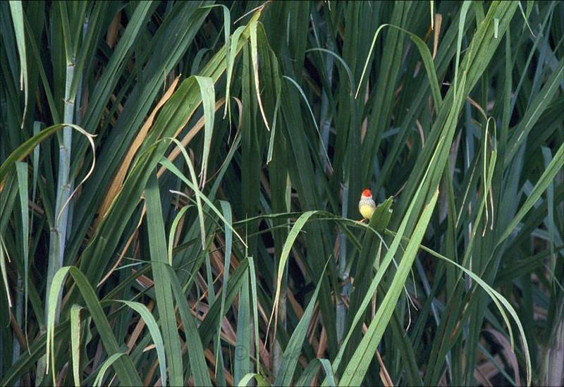 Star Finch (Neochmia ruficauda subclarescens). Kununurra, Western Australia. In sugarcane.