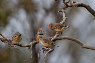 zebrafinch-7934