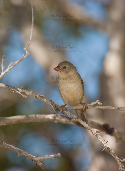 Star Finch (Neochmia ruficauda clarescens), Lakefield, Cape York Peninsula, Queensland. Juvenile.