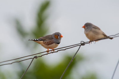 zebrafinch-7913