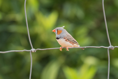 zebrafinch-7945
