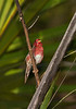 Crimson Finch- Neochmia phaeton evangelinae, Lakefield, Cape York Peninsula, QLD.