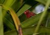 Crimson Finch- Neochmia phaeton phaeton, Cairns, QLD.