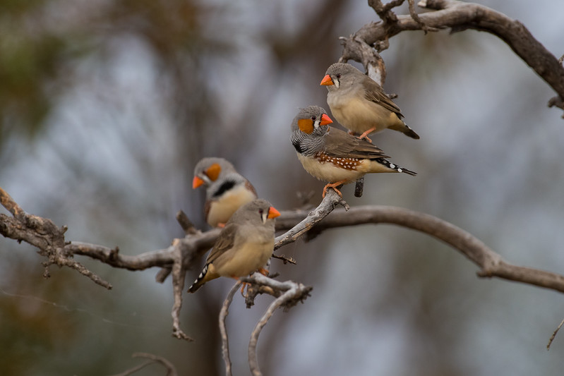zebrafinch-7928