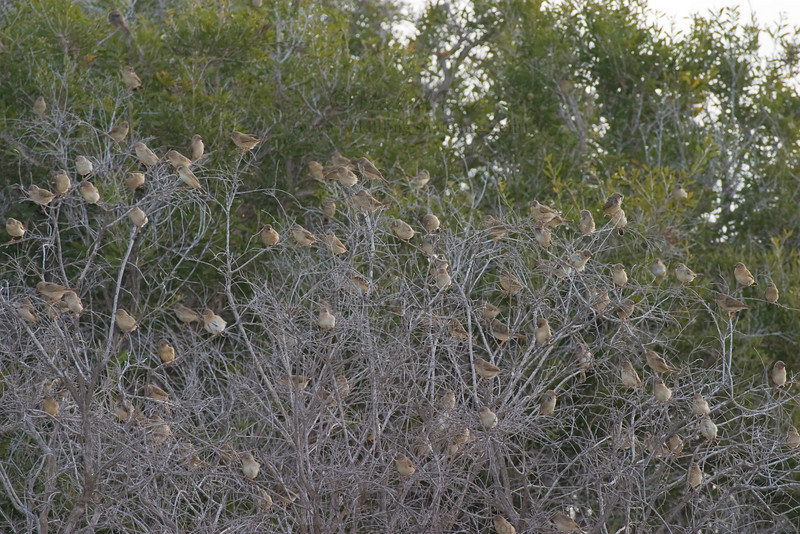 Star Finch (Neochmia ruficauda clarescens), Lakefield, Cape York Peninsula, Queensland.