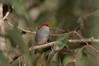 Red-browed Finch- Neochmia temporalis temporalis, Cardwell, QLD