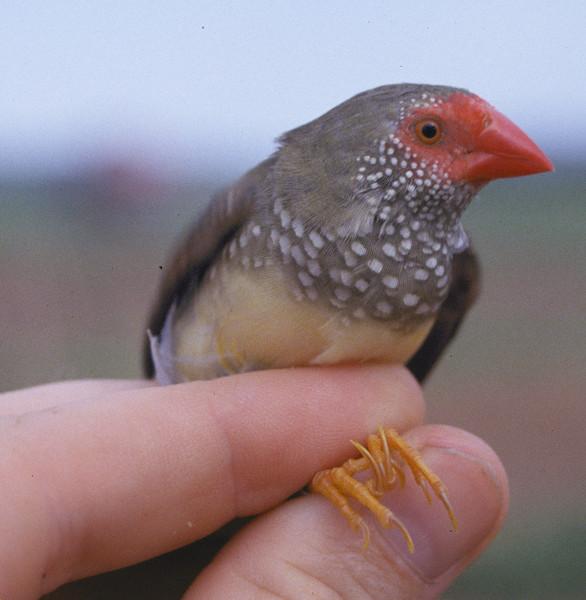 Star Finch (Neochmia ruficauda subclarescens). Kununurra, Western Australia. Female in hand.