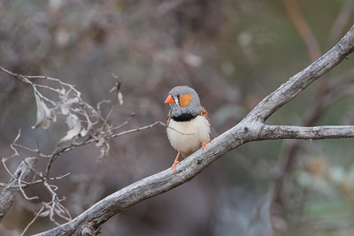 zebrafinch-7951