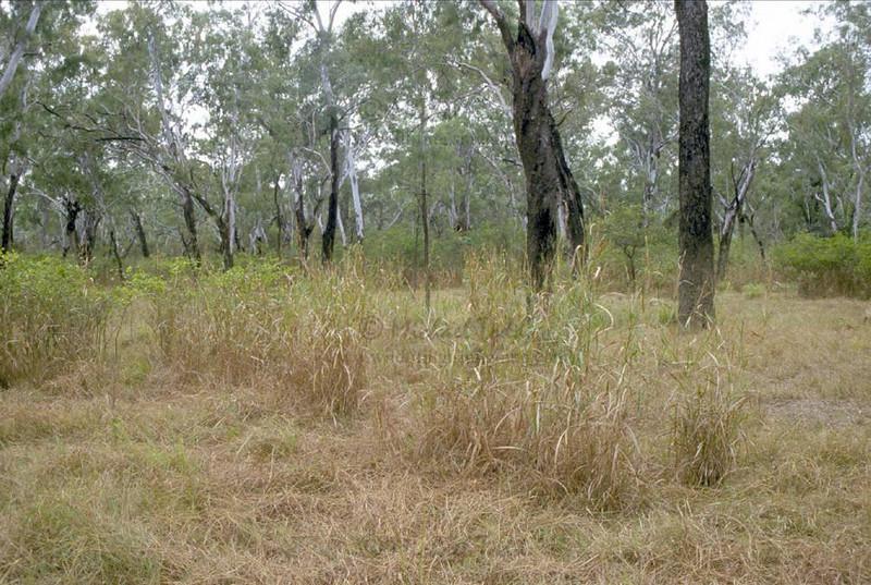Crimson Finch- Neochmia phaeton evangelinae, Lakefield, Cape York Peninsula, QLD.  Habitat.
