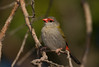 Red-browed Finch- Neochmia temporalis temporalis, Newcastle NSW.