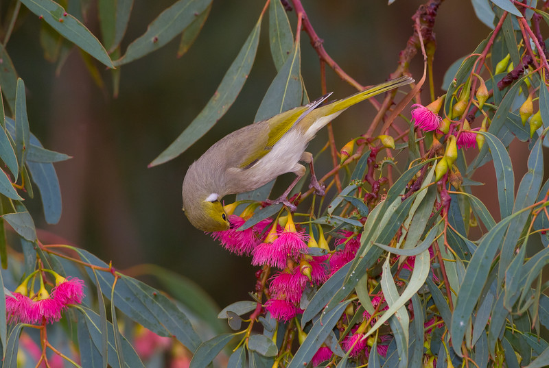 White-plumed Honeyeater in Yellow Gum (Eucalyptus leucoxylon), Mildura, VIC