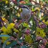 Singing Honeyeater feeding in Illyarie (Eucalyptus eryrhocorys), Buronga, NSW