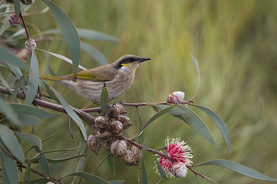 Singing Honeyeater, on Hakea laurina, Nichols Point, VIC