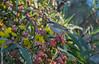 Singing Honeyeater feeding in Illyarie (Eucalyptus erythrocorys), Buronga, NSW