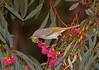 White-plumed Honeyeater in Yellow Gum (Eucalyptus leucoxylon), Mildura, VIC