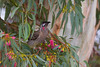Red Wattlebird in Yellow Gum (Eucalyptus leucoxylon), Mildura, VIC