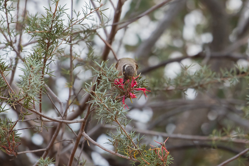 Brown-headed Honeyeater feeding on Grevillea huegeli, Balranald, NSW
