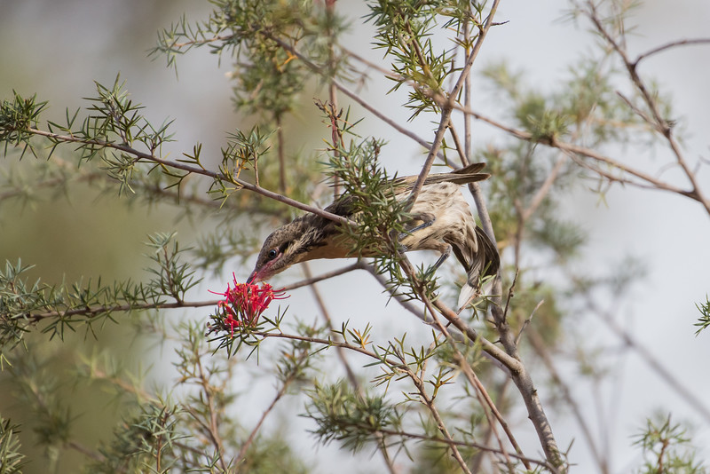 Spiny-cheeked Honeyeater feeding on Grevillea huegeli, Balranald, NSW