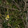 figbird-2758