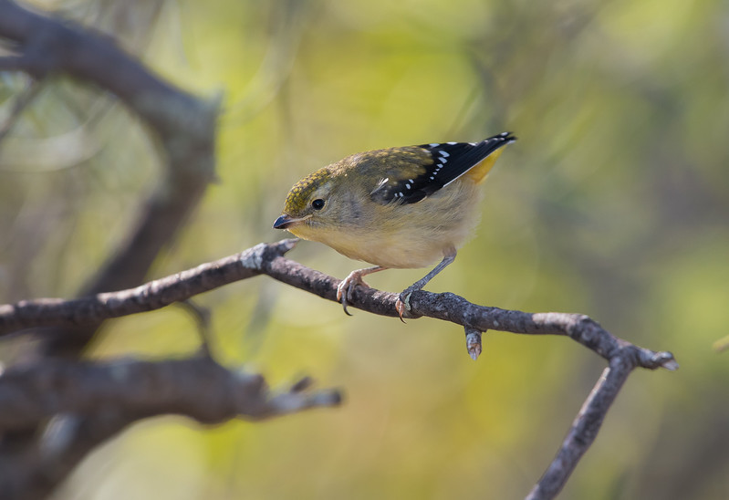 Yellow-rumped Pardalote, juvenile, Euston, NSW
