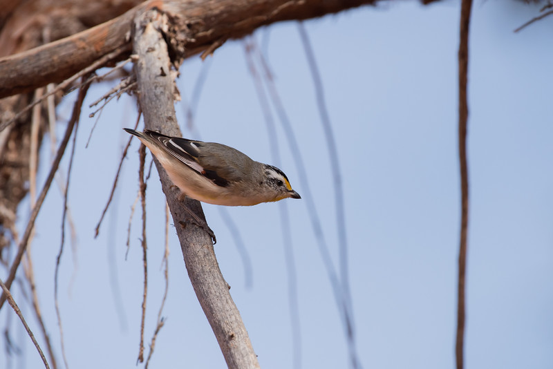 Striated Pardalote (substriatus), Balranald, NSW