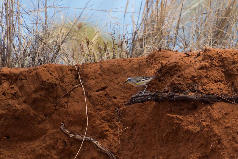 Striated Pardalote (substriatus), Balranald, NSW