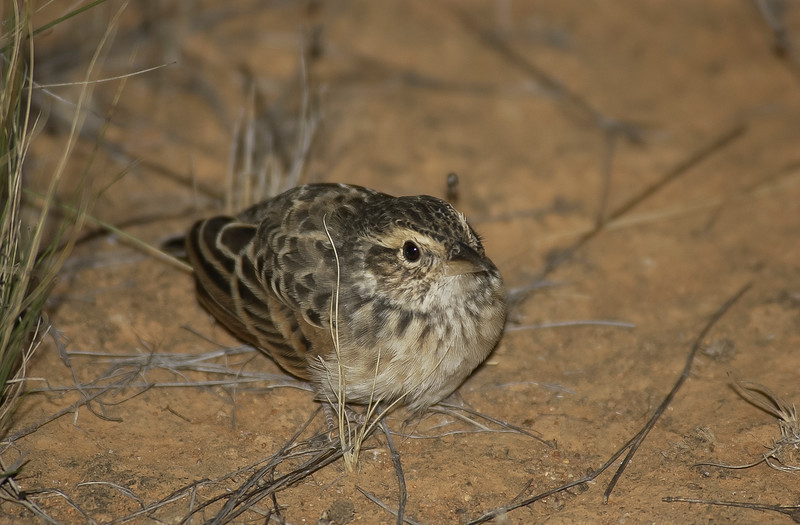 Singing Bushlark, Hay, NSW