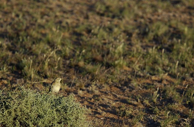 Australian Pipit, Oolambeyan NP, NSW