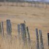Australian Pipit, Waddamana, TAS