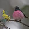 pinkrobin-6096
