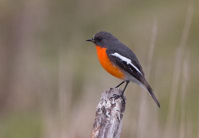 Birds- Passerines