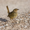 striatedfieldwren-2468
