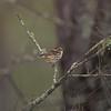 speckledwarbler-3396
