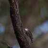 white-throatedtreecreeper-3391