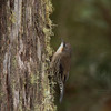 white-throatedtreecreeper-9212