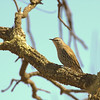 white-browedtreecreeper-7123