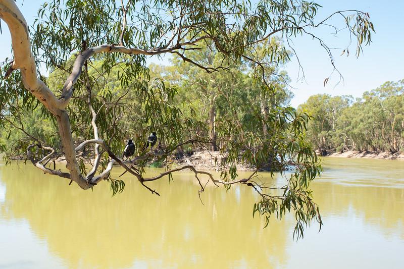 Australian Magpies on the Murray River at Nyah