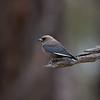 duskywoodswallow-7869