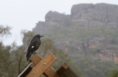 Woodswallows, Currawongs, Butcherbirds, Magpies- ARTAMIDAE