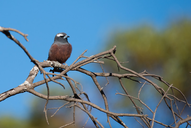 White-browed Woodswallow, Goschen, VIC