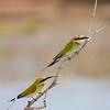 Rainbow Bee-eater, Lakefield NP, QLD