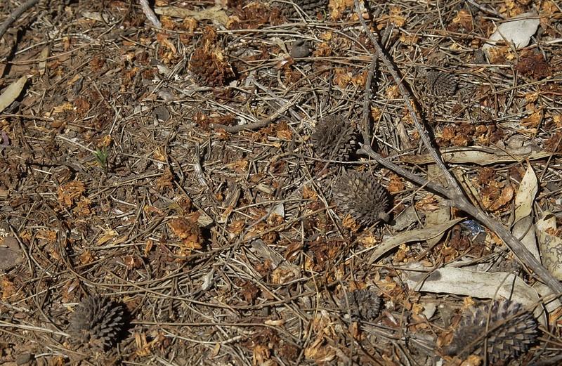 Glossy Black-cockatoo chewings. Fruit of Allocasuarina verticillata.