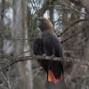 Glossy Black-cockatoo. Male. Heat stress