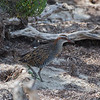 Buff-banded Rail, Werribee, VIC