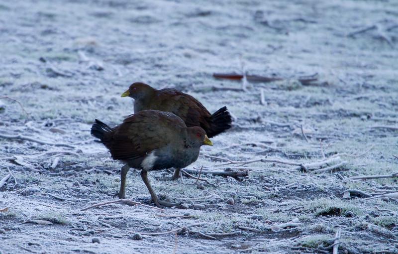 Tasmanian Native-hen in the snow