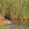 Purple Swamphen, Werribee, VIC