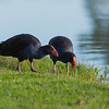 Purple Swamphen, Lake Cullulleraine, VIC