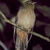 19991210-Chestnut-breasted Cuckoo- juvenile
